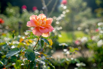 A pink rose at a park in Japan in the Autumn season