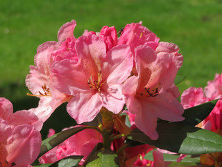 closeup of pink azalea in the garden