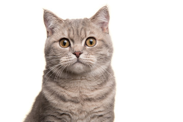 In de dag Kat Portrait of a silver tabby british shorthair cat looking at the camera isolated on a white background