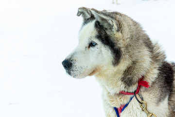 Head of a Husky. The dog is attentive and ready to start by pulling the sled.