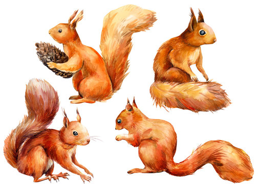 set of squirrels on an isolated white background, watercolor illustration, forest clipart