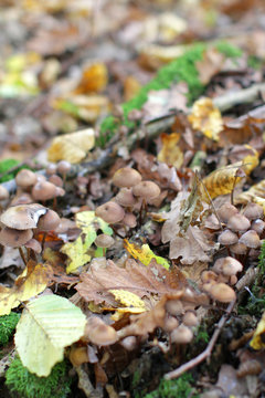 mower mushrooms with autumn leaves on old trunk in forest
