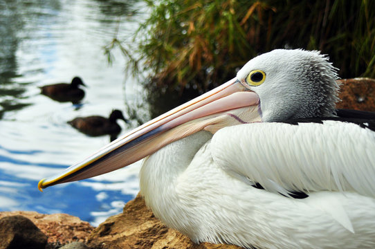 Pelican sitting by the pond