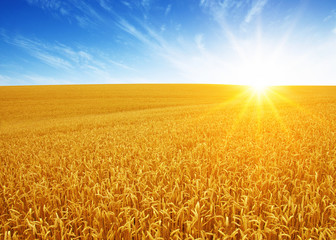 Wall Murals Meadow Wheat field and sun
