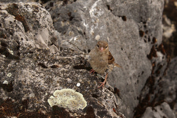 Sparrow (Passer domesticus) sitting on natural rocks