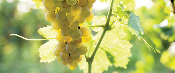 Bunch of grapes on the vine, closeup Fototapete
