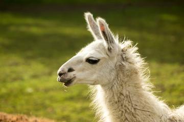 Fotorolgordijn Lama Portrait of a white llama. Side view . Close up. Morning at the llama breeding farm.
