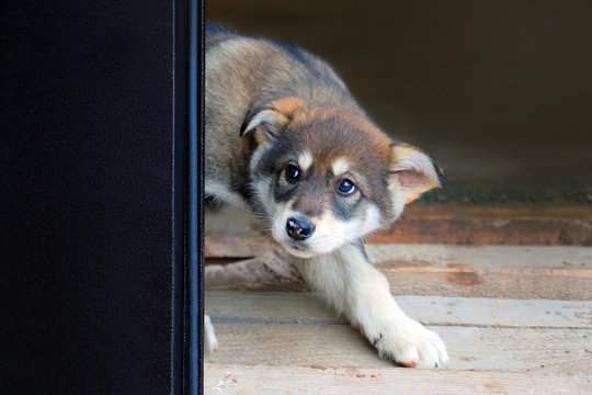 Scared puppy peeking out from behind the door