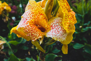 Multiple yellow canna lilies closeup on a blurred green background in the summer