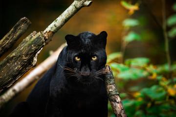 Deurstickers Panter Black panther in the jungle