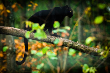 Deurstickers Panter Black panther on the tree in the jungle