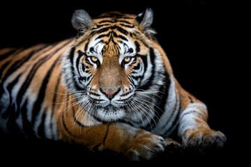 Photo sur Plexiglas Tigre Portrait of a Tiger with a black background