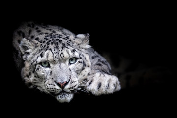 Foto auf Gartenposter Leopard Snow leopard with a black background