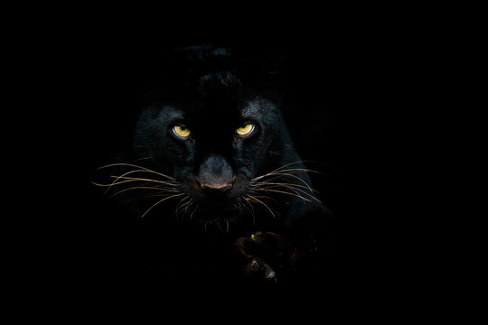 Black panther with a black background