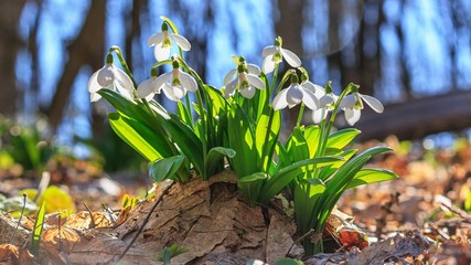 Wall Murals Spring Galanthus nivalis or common snowdrop - blooming white flowers in early spring in the forest, closeup