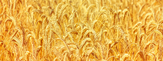 Poster Cultuur Rural landscape - field common wheat (Triticum aestivum) in the rays of the summer sun, close-up
