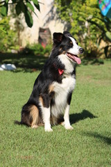A border collie with three color coat sunning