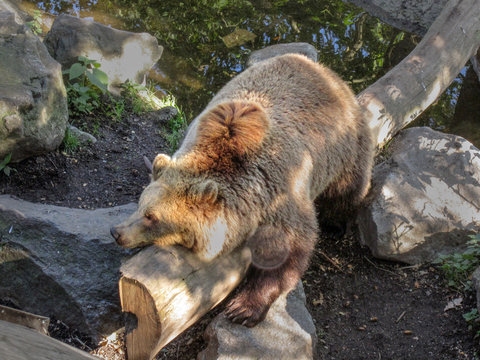 Bear resting and straddling a log