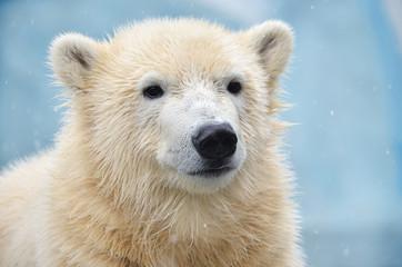 Poster Ijsbeer polar bear on white background