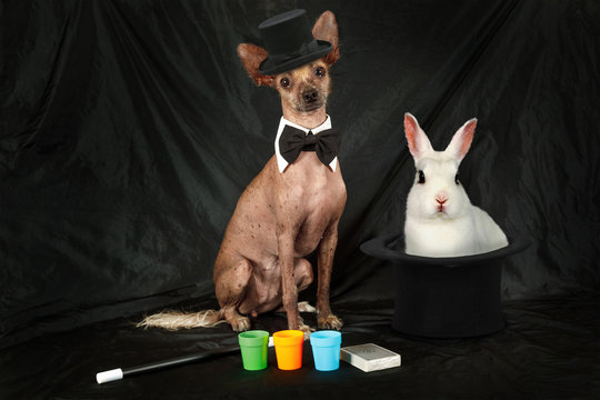 Thoroughbred Xoloitzcuintli dog dressed as a magician