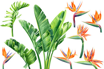 jungle design, set of strelitzia flowers and leaves on an isolated white background, watercolor tropical plants, botanical illustration, africa - fototapety na wymiar