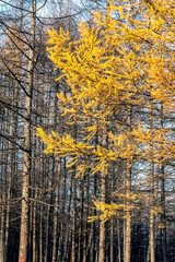 Fototapete - yellow larch needles in autumn against the background of the forest and blue sky
