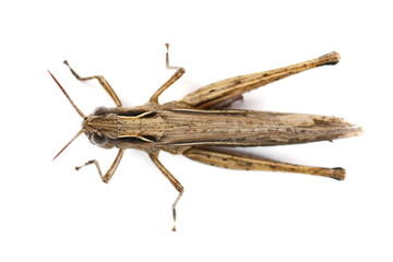 Brown grasshopper isolated on white background, top view