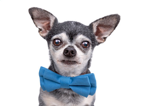 Cute chihuahua wearing a blue bow tie isolated on a white background studio shot