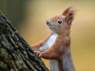 Fotobehang Eekhoorn Red squirrel autumn portrait