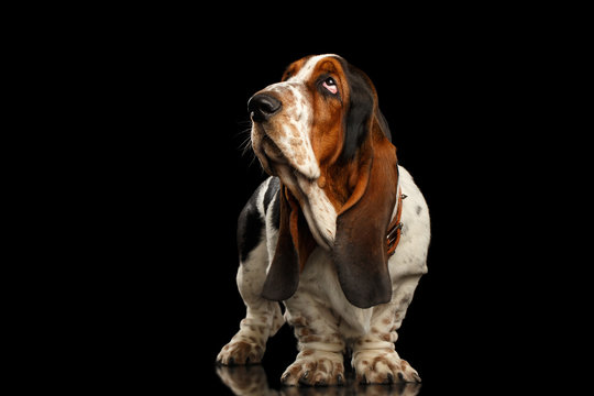 Funny Basset Hound Dog Standing and Looks Indifferent on Isolated black background, side view