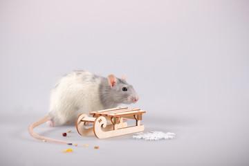 rat beautiful gray on a white background