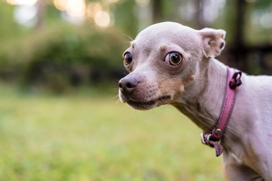 Russian Toy Terrier dog with caution and suspicion looks at the camera.