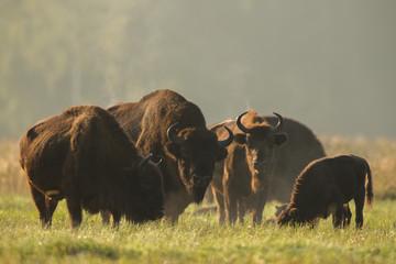 Foto op Plexiglas Buffel European bison - Bison bonasus in the Knyszyn Forest (Poland)