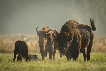 European bison - Bison bonasus in the Knyszyn Forest (Poland) Wall mural