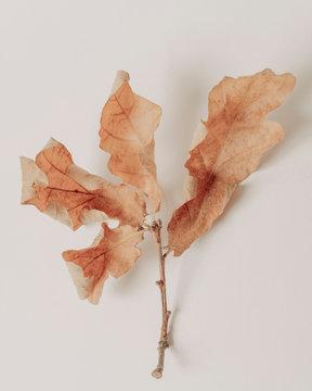 Dry oak leaf on light background