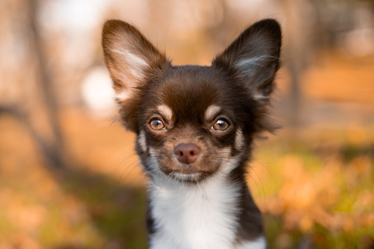 Chocolate chihuahua puppy posing in autumn in the park