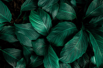 Wall Mural - Spathiphyllum cannifolium, tropical leaves, abstract green leaves texture, nature background