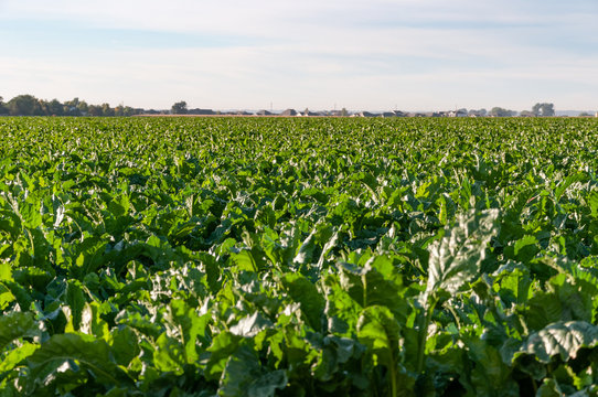 Long rows of sugarbeets in the bright sunlight