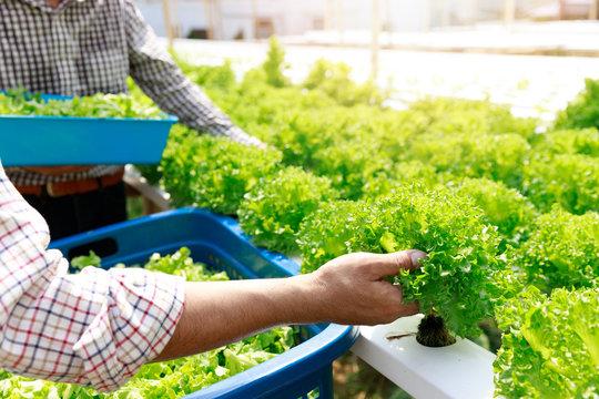 Hydroponics farm ,Worker harvest lettuce organic hydroponic vegetable at greenhouse farm garden.