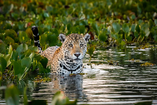 Close up of a Young Jaguar standing in shallow water with reflections, bed of water hyacinths in the back and side, facing camera, dawn mood, Pantanal Wetlands, Mato Grosso, Brazil