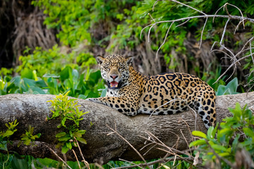 Magnificent Jaguar resting on a tree trunk at the river edge, facing camera, Pantanal Wetlands, Mato Grosso, Brazil