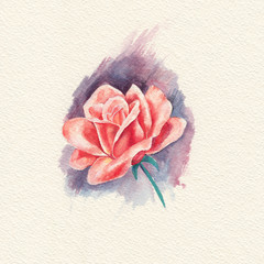 Watercolor drawing one red rose
