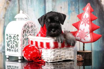 miniature schnauzer New Year's puppy, Christmas dog