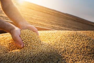 Fototapeta Hands of peasant holding soy beans obraz