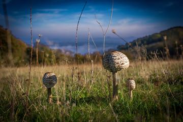 Mushroom on a meadow
