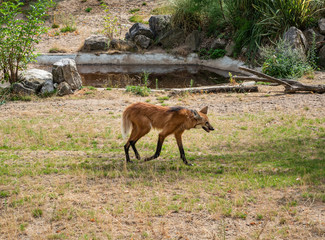 Maned Wolf on the Prowl