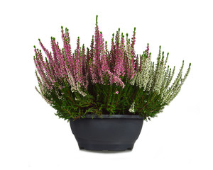 Heather flowers in flowerpot isolated on white background
