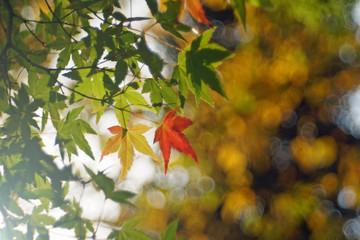 branch of maple tree with red autumn leaf