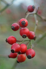 branch of rose hip