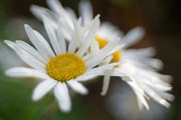 close-up of beautiful white flowers